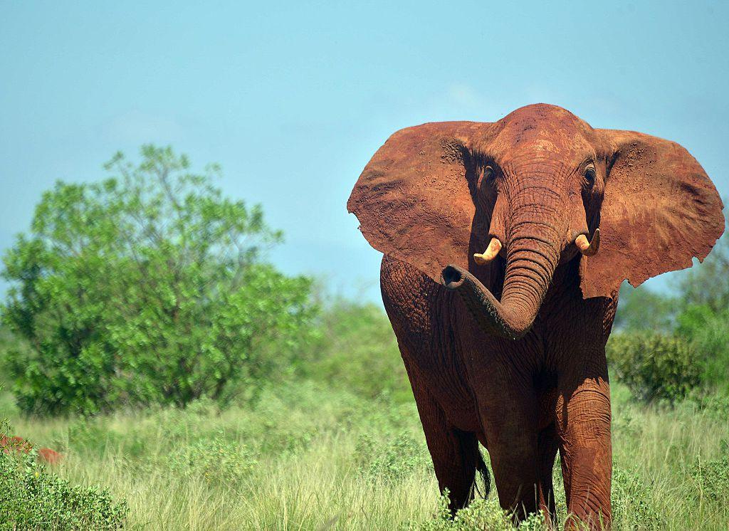 Se muestra un elefante en el Parque Nacional Tsavo East en Kenia, cerca de donde un hombre fue pisoteado hasta la muerte el 30 de diciembre.